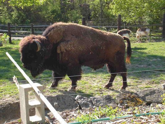 American_Bison_Columbus_Zoo