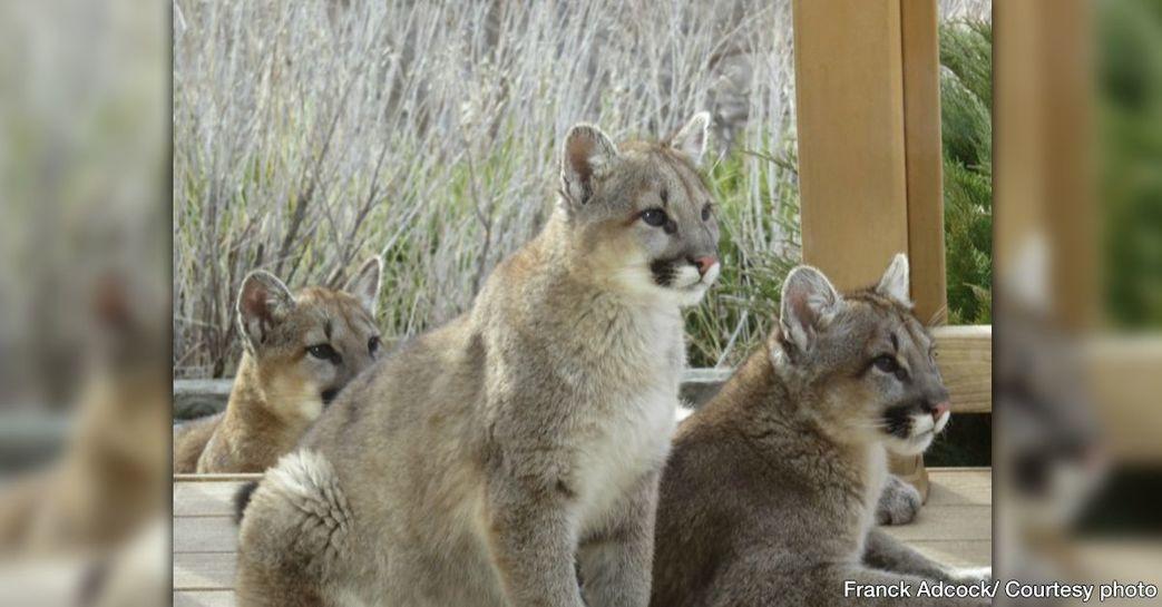 mountain-lion-cubs