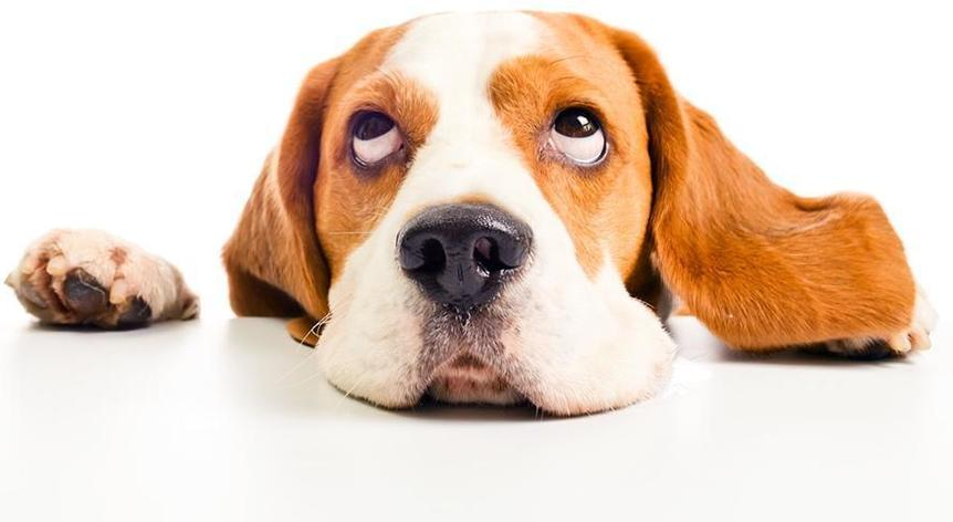 beagle head isolated on a white background; Shutterstock ID 116659042; PO: Cat Overman; Job: blog post