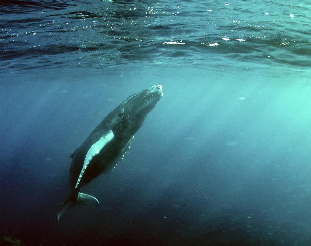 Humpback whale in Costa Rica