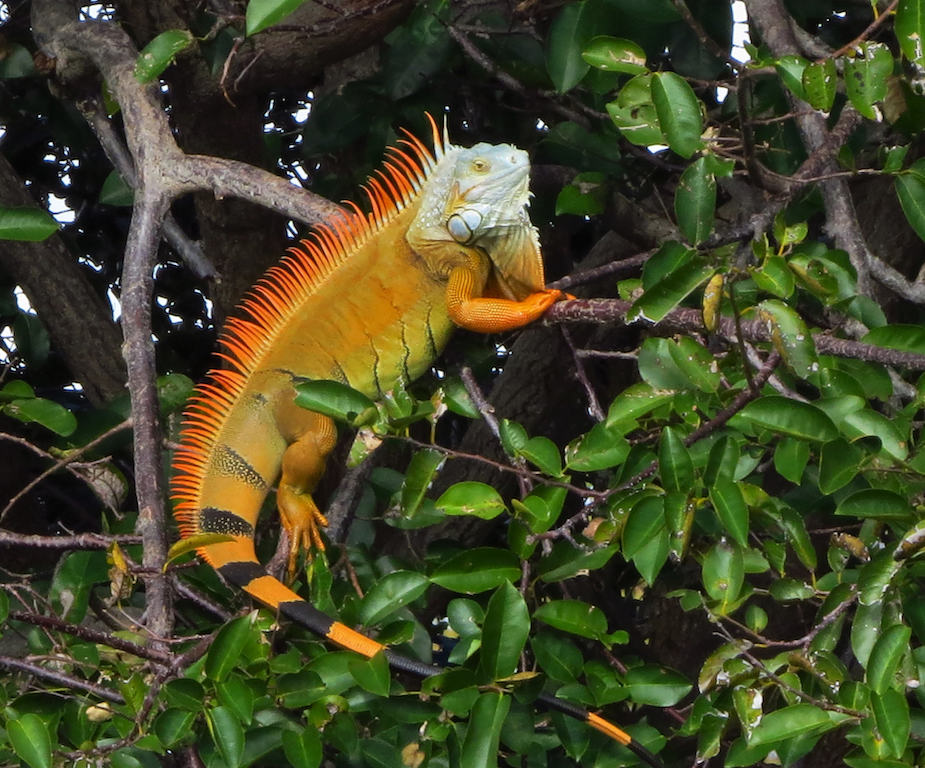 iguana in Playa Grande, Costa Rica