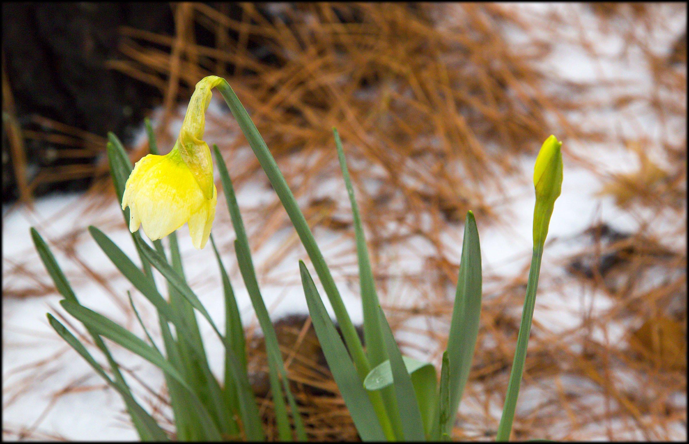 2015-02-23_DaffodilinSnow