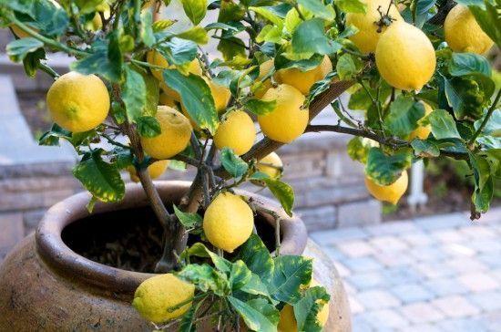 potted lemon tree