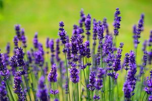 French Lavender is a low water, fire-resistant plant that can easily be added to a home's landscaping.