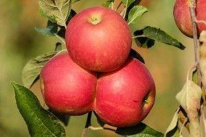 apple-1666113_640-300x200