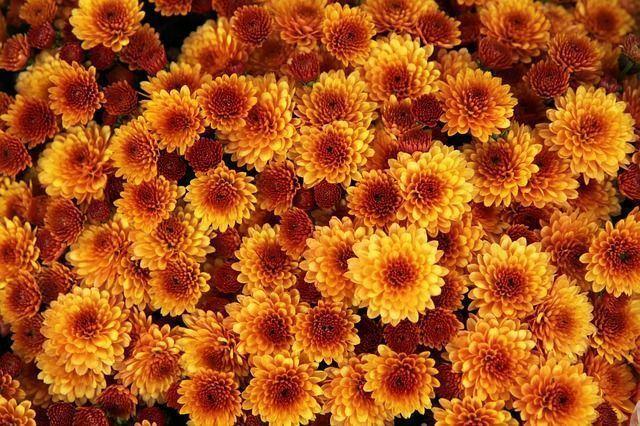 chrysanthemum-1013083_640