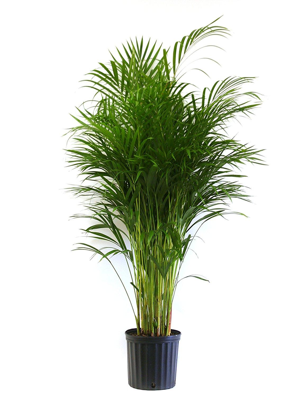 Delray Plants Butterfly Palm (Areca) in Pot