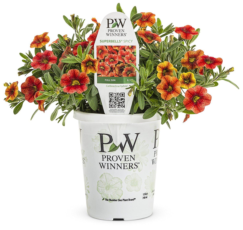 Proven Winners Superbells Spicy Calibrachoa Live Plant Orange-Yellow Flowers