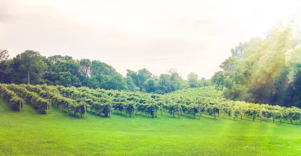 vineyard-edited